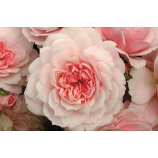 Bush Rose, Jane McGrath