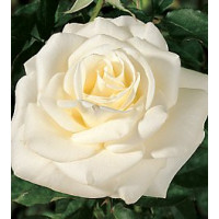 Bush Rose, John F Kennedy