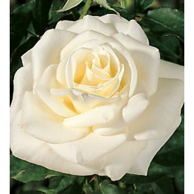 Bush Rose, John F Kennedy