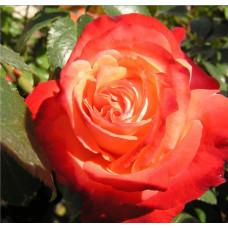 Bush Rose, Joy Of Life