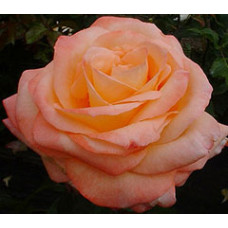 Bush Rose, Joyfulness