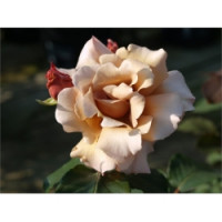 Bush Rose, Julia's Rose