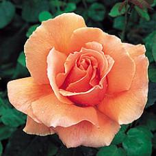 Bush Rose, Just Joey