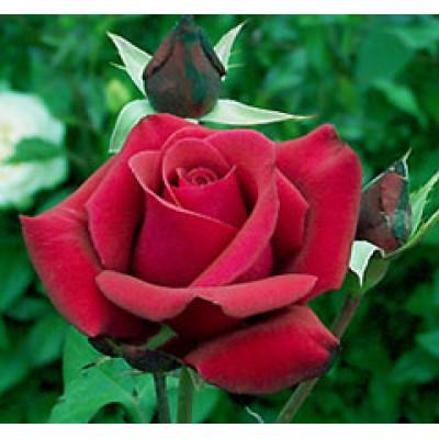 Bush Rose, Kardinal