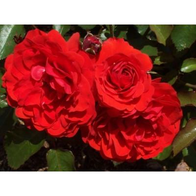 Bush Rose, La Sevillana,