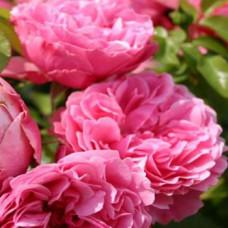 Bush Rose, Leonardo Da Vinci