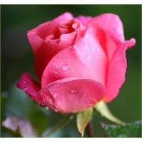 Bush Rose, Lorraine Lee