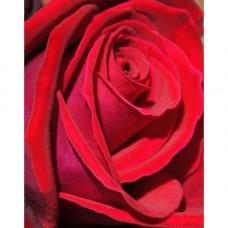 Bush Rose, Loving Memory