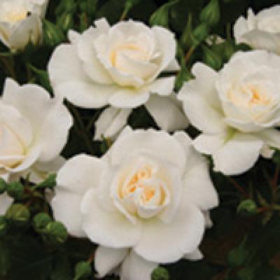 Bush Rose, Make A Wish