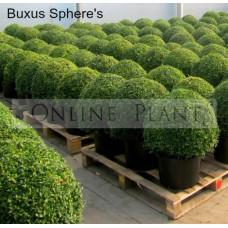 Buxus sempervirens Sphere