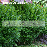 Buxus sempervien suffruticosa Dutch Box