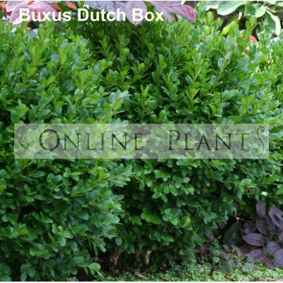 Buxus sempervien suffruticosa Dutch Box