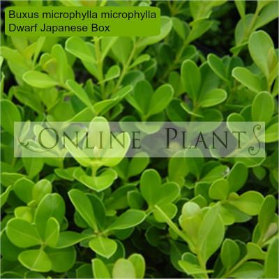 Buxus microphylla microphylla Dwarf Japanese Box