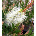 Callistemon Clearview White