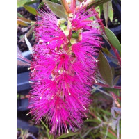 Callistemon Purple Splendour