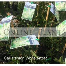 Callistemon White Anzac