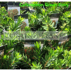 Callistemon Green Envy