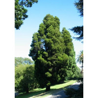Callitris Rhomboidea, Port Jackson Pine
