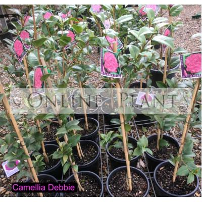 Camellia Japonica, Debbie