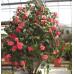 Camellia Japonica, C.M Hovey