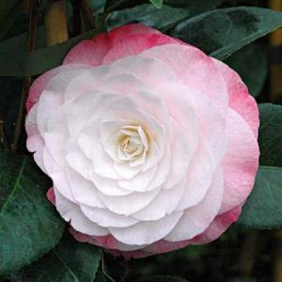 Camellia Japonica, Desire