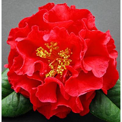 Camellia Japonica, Dr. Clifford Parkes