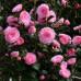 Camellia Japonica, E.G Waterhouse