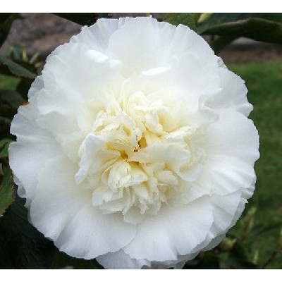 Camellia Japonica, Elegans Champagne