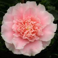 Camellia Japonica, Elegans Splendour