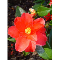 Camellia Japonica, Freedom Bell