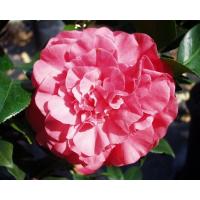 Camellia Japonica, Georgia Rouse