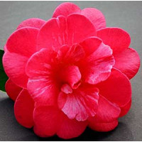 Camellia Japonica, Great Eastern