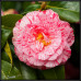 Camellia Japonica, Helenor