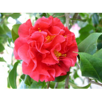 Camellia Japonica, Kramer's Supreme