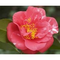 Camellia Japonica, Laura Walker