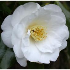 Camellia Japonica, Lovelight