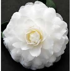 Camellia Japonica, Margarete Hertrich