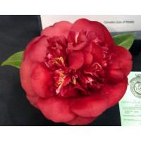 Camellia Japonica, Midnight