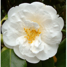 Camellia Japonica, Snow Mitt