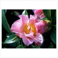 Camellia Japonica, Tip Toe