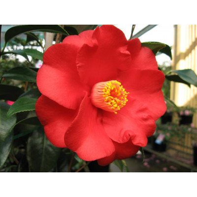 Camellia Japonica, Wildfire