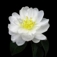Camellia Sasanqua, Asakura