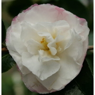 Camellia Sasanqua, Beatrice Emily