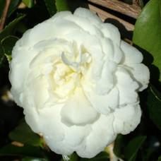 Camellia Sasanqua, Fuji No Mine
