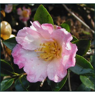 Camellia Sasanqua, Fukuzutsumi