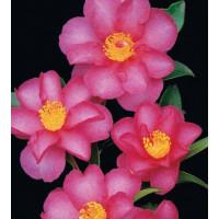 Camellia Sasanqua, Hiryu