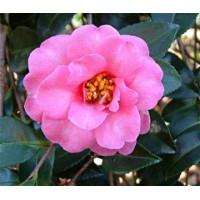 Camellia Sasanqua, Lucinda