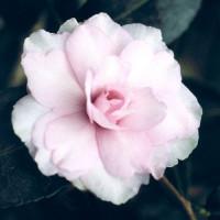 Camellia Sasanqua, Mignonne