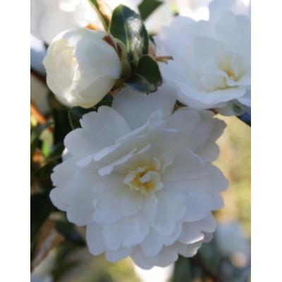 Camellia Sasanqua, Mine No Yuki