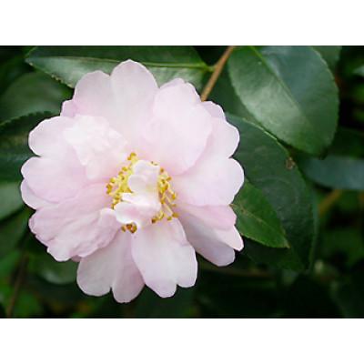 Camellia Sasanqua, Miss Ed